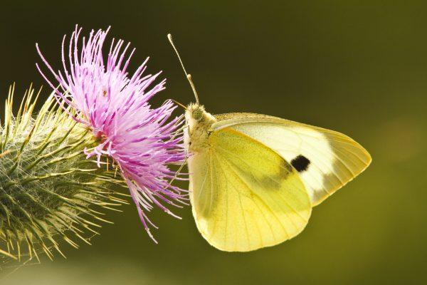 wildlife-brimstone butterfly