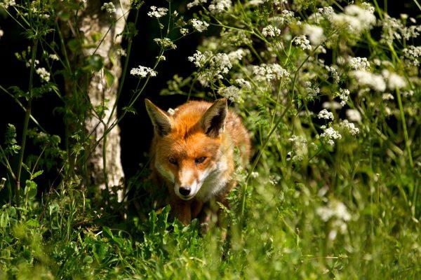 wildlife-fox