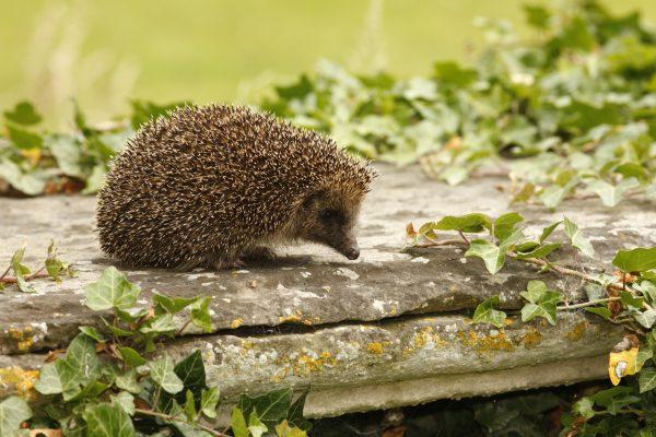 wildlife-hedgehog