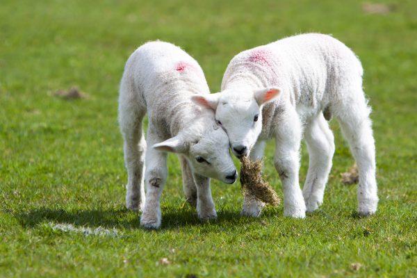 wildlife-lambs