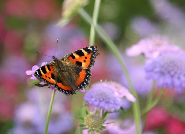 wildlife-red-admiral-butterfly