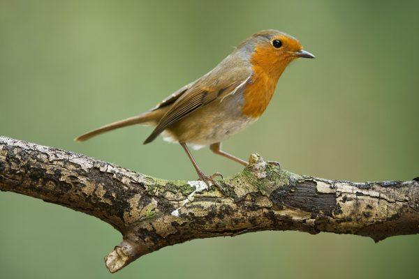wildlife-robin