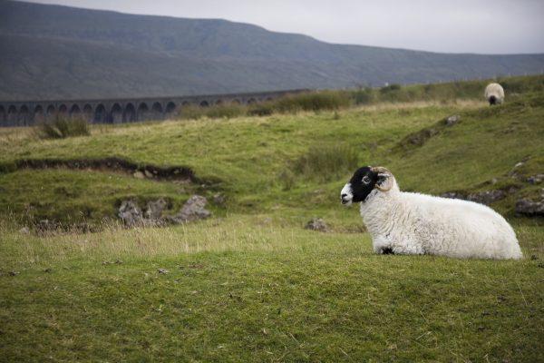 wildlife-sheep-3