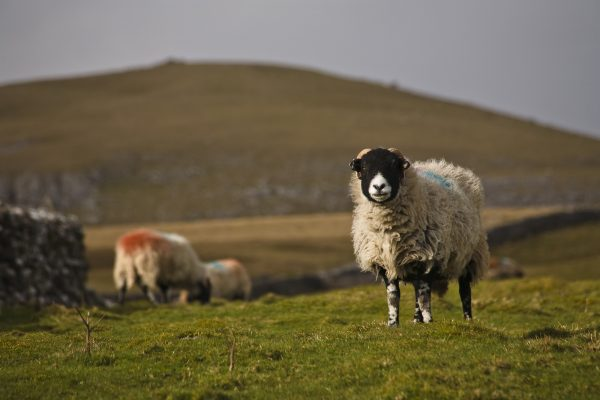 wildlife-sheep