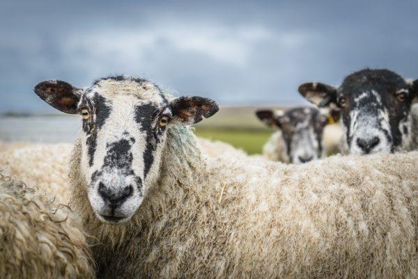 wildlife-sheep-looking