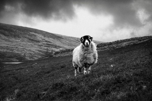 wildlife-sheep-monochrome