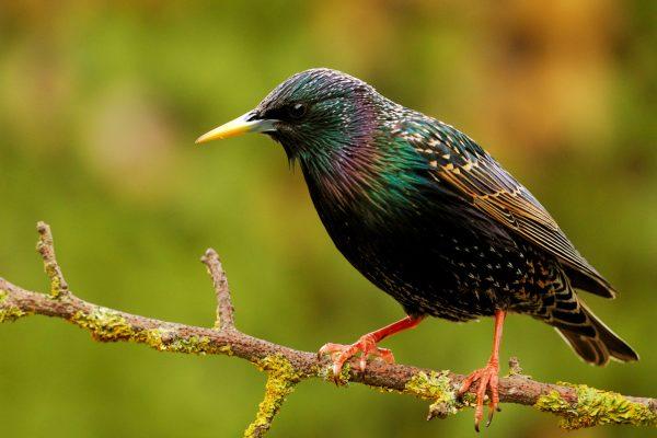 wildlife-starling