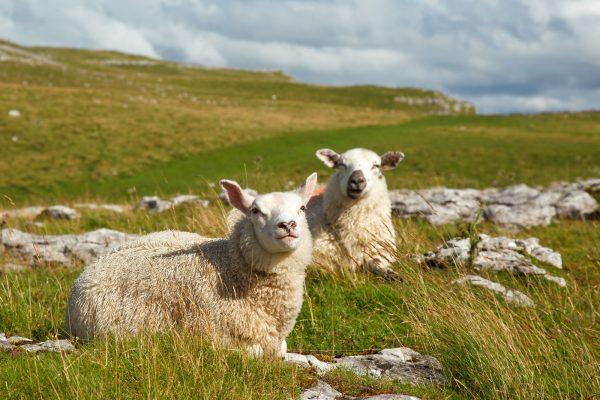 wildlife-two-sheep