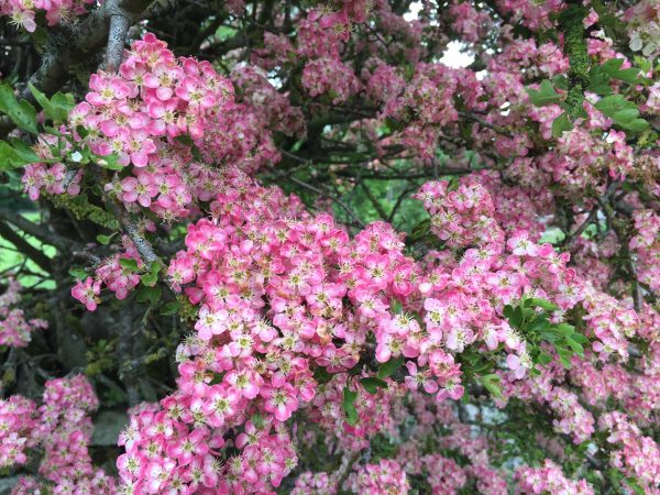 woodnook blossom closeup