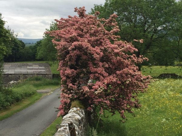 woodnook blossom over wall