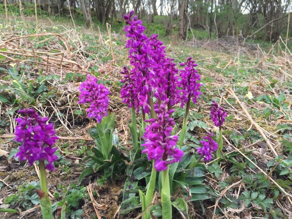 woodnook woodland flowers 4